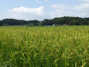 KUMIKOの近くの田んぼ風景